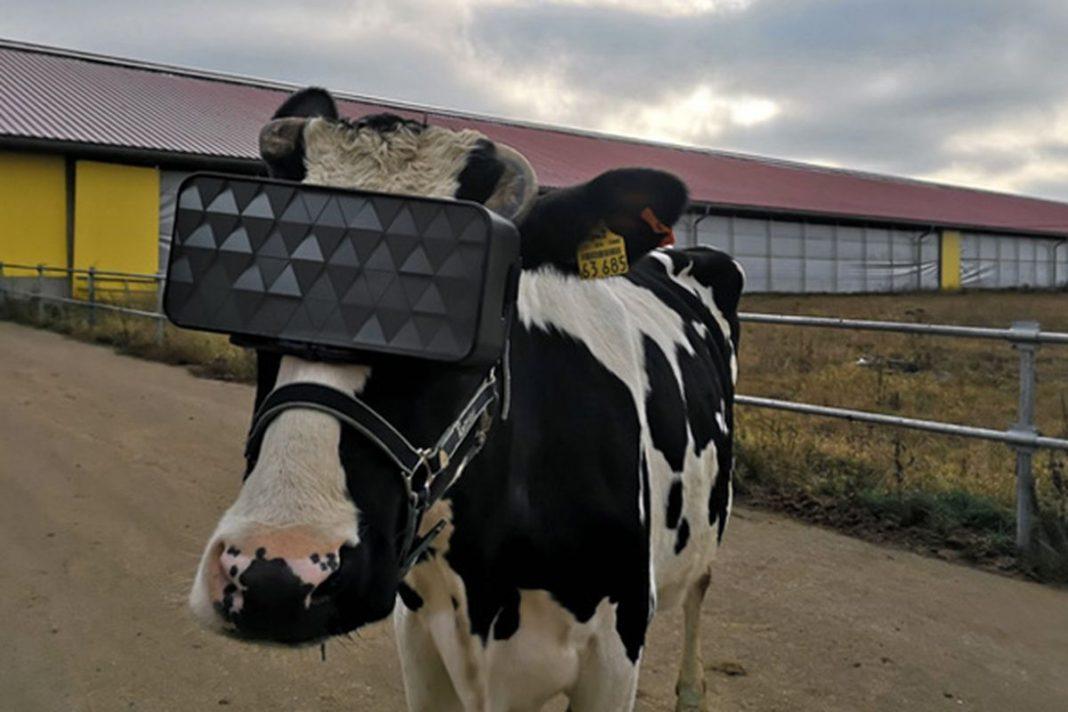 vacas realidad virtual